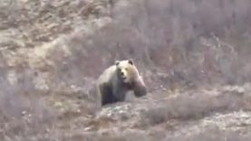 Chuck's Solo Brown Bear Hunt